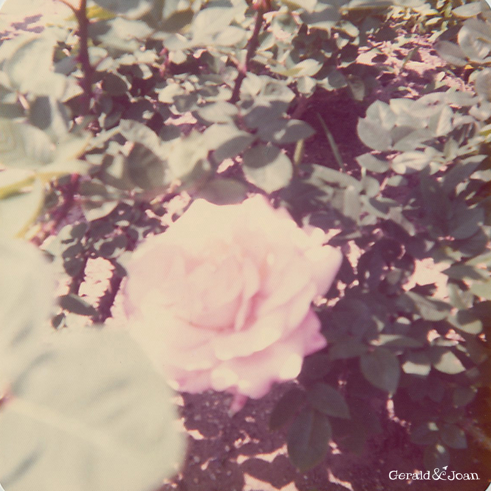 rose1 copy.jpg