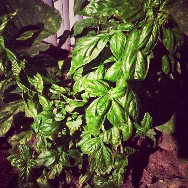 This basil is growing in my backyard in Astoria Queens, NYC Ingredients: Fresh basil Posted by: ladydeelg