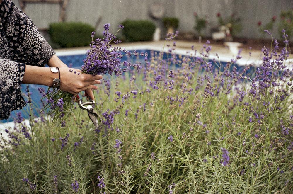 McKinley gathering up lavender from Grandma's garden.