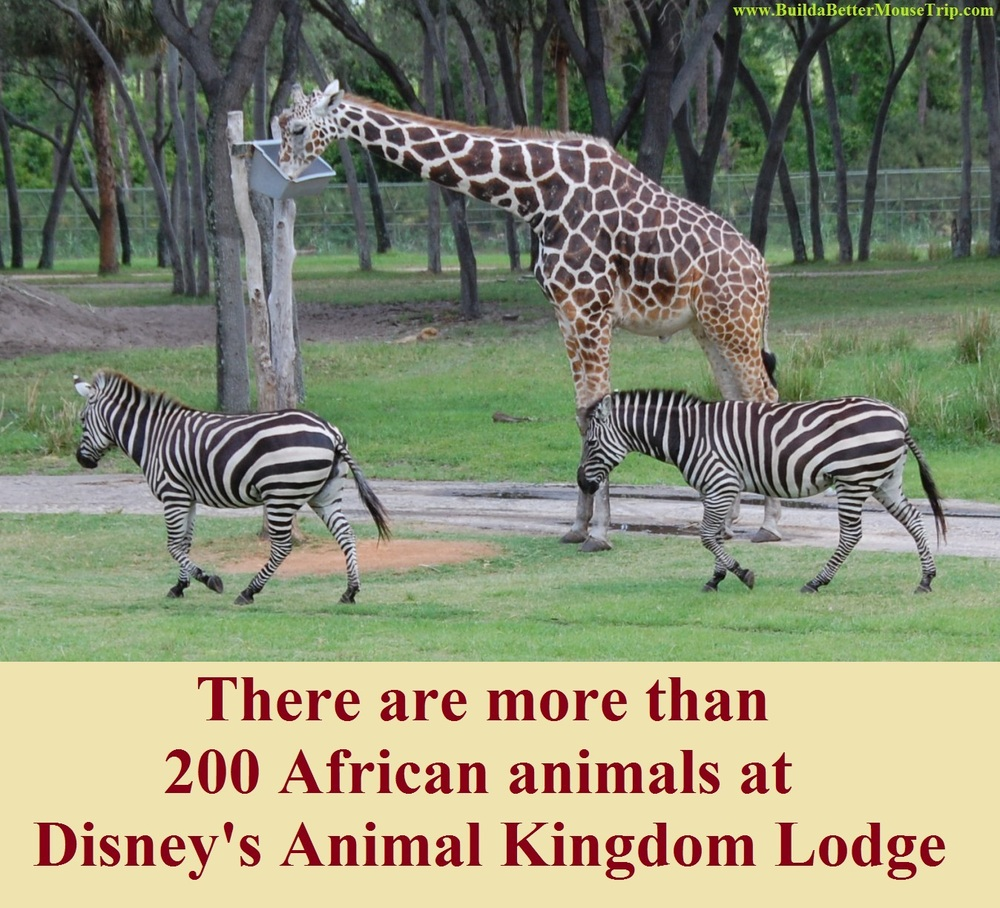 Disney's Animal Kingdom lodge resort features an incredible array of African animals in beautiful savannah areas.  Walt Disney World Resort - Florida. For more information, see: http://www.buildabettermousetrip.com/disneys-animal-kingdom-lodge
