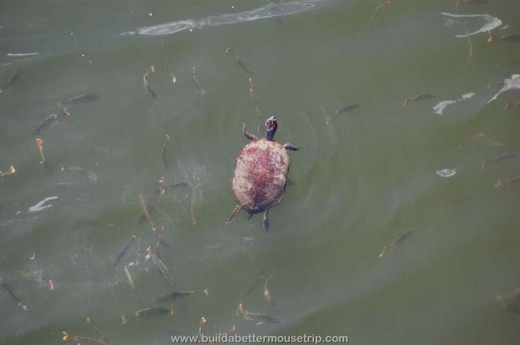 A cute little turtle swimming in the lake near Disney's Pop Century Resort