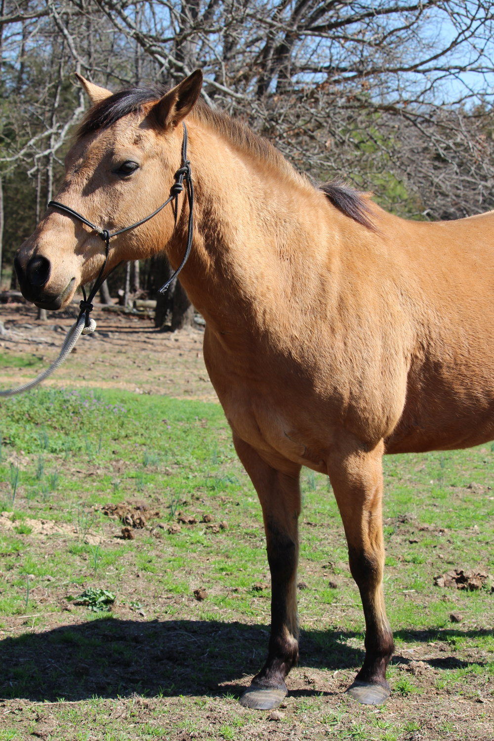 Max is a 12 year-old Quarter Horse who was kindly free-leased to us by Ms. Sydney McAllister. He has a very sweet and calm personality and works great with our kids. Every time he is gotten out of the pasture, he gives you his undivided attention and his best behavior.    Max has been a great edition to our program and we are very thankful to have him.