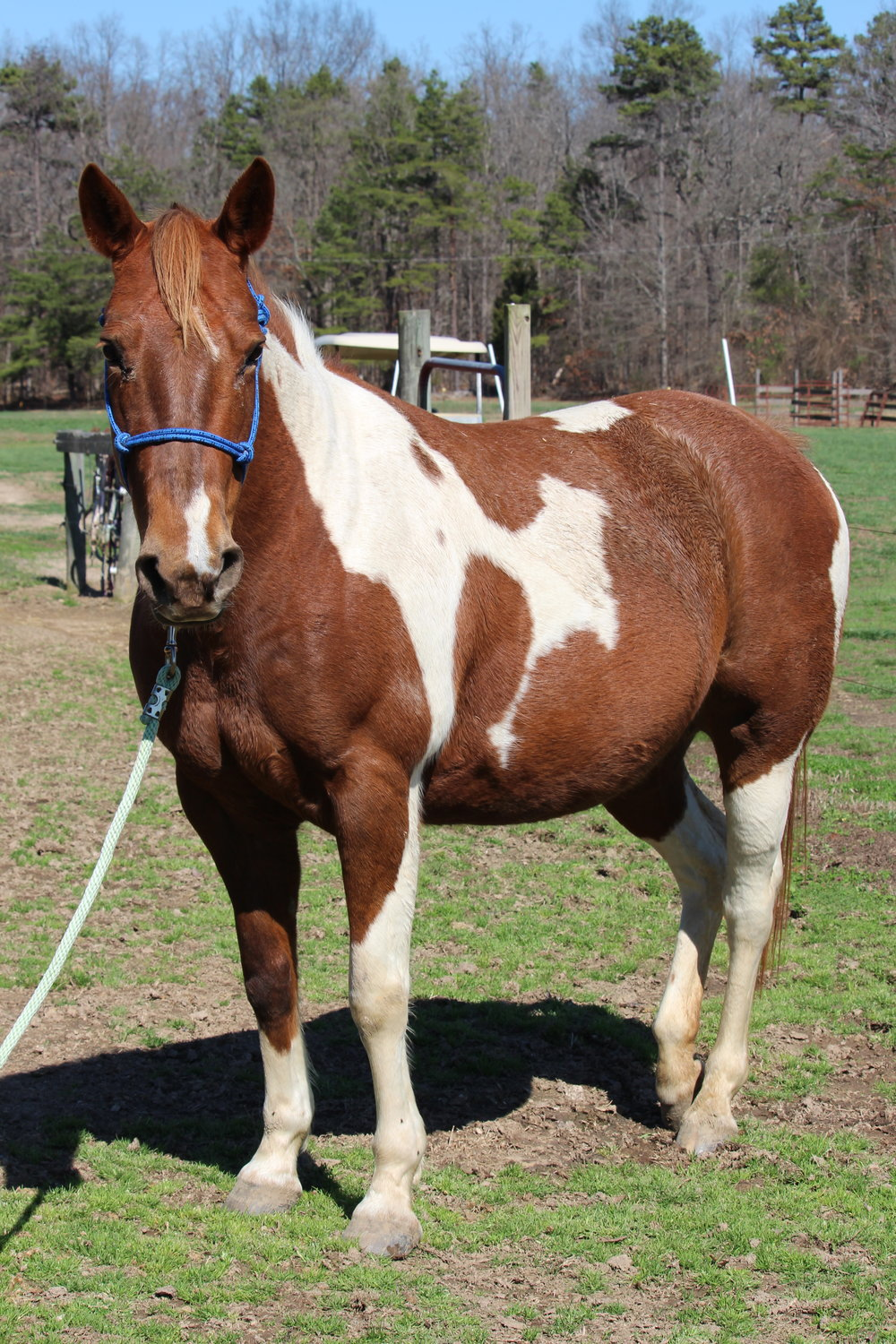 Kida is a Quarter Horse Paint born in 2008 and belongs to Ms. Claire. She has a sweet and playful personality, loves treats and kisses, and loves to be with her pasture-mates. She is currently not being used as a program horse, but is still being trained for general riding in hopes of one day being used in the program.