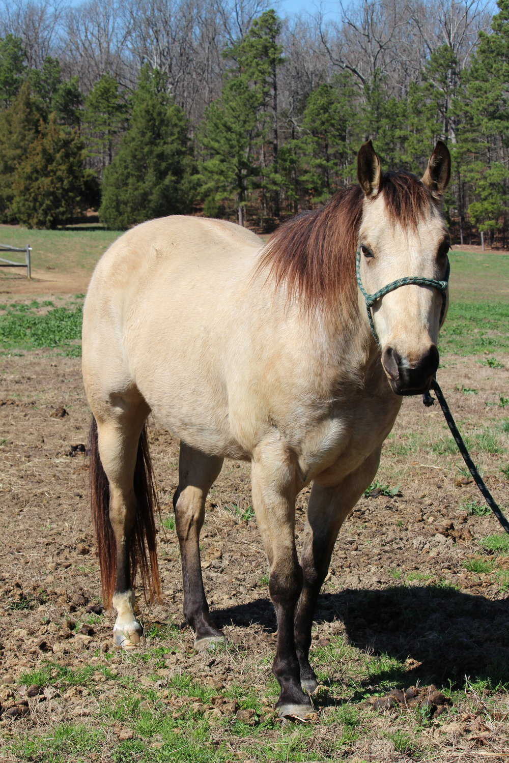 Tacha - Tacha is a 10-year-old Quarter Horse gelding who is kindly free leased to us by Mr. Stephen Smith. He has a sweet temperament, but sometimes likes to be pushy and will test you. Tacha is occasionally used in the program, but is mostly ridden by our independent riders.