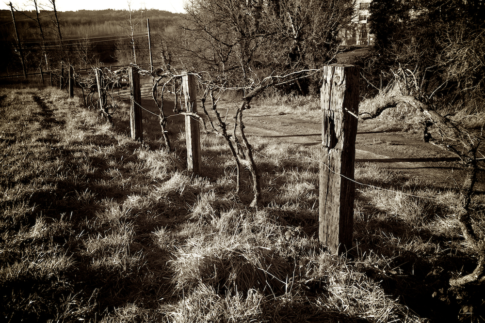Vintage Road - Walking the path of yesterday, wooden posts and abandoned grapevines hold vigil waiting for us to see the sacred.
