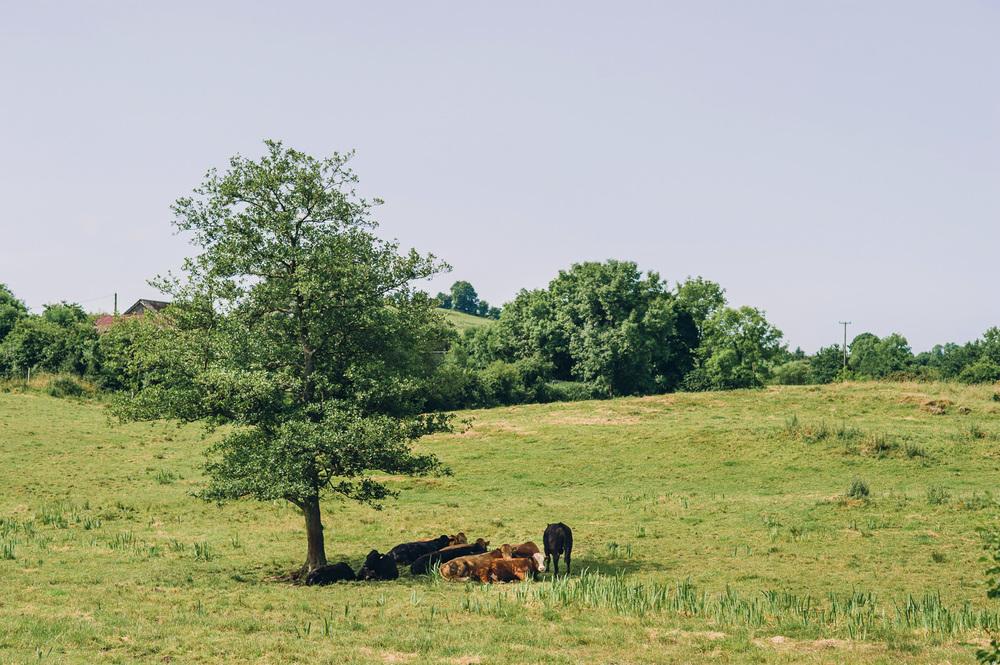 002 Irish Cows Field.jpg