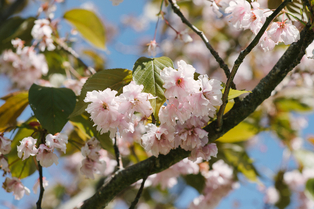 127 Cherry Blossom Wedding.jpg