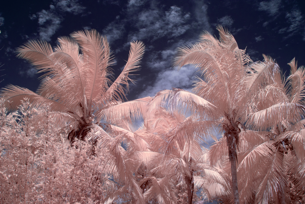 Infrared Pink Paradise by Patrick C. Cook