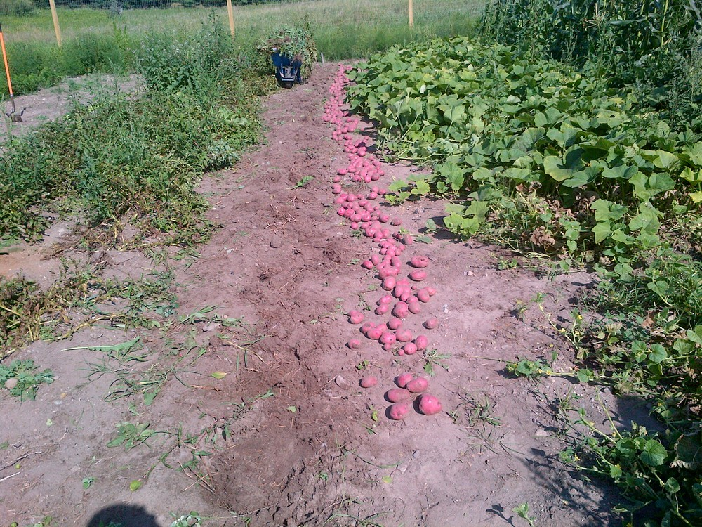 2013 Red Potatoe Harvest