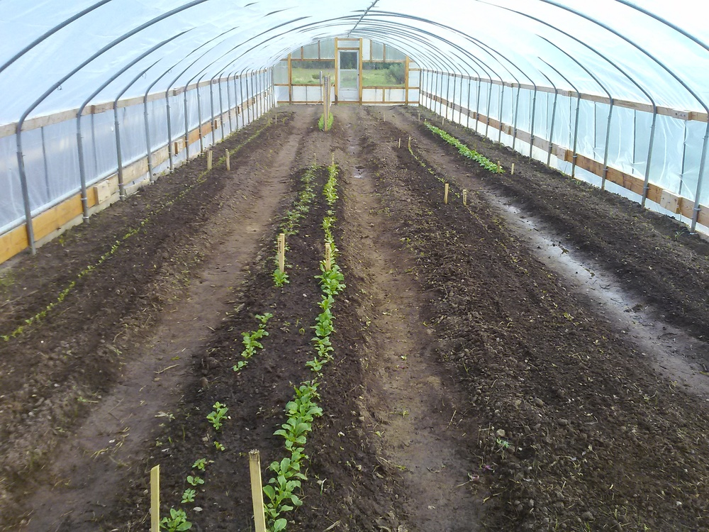 Veggies in Hoop House #1
