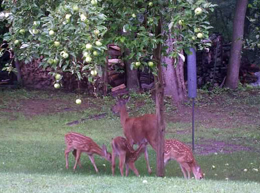 "The deer enjoying the ""drops"" from Grandpa's Yellow Transparent apple tree"
