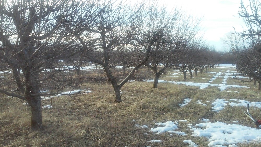 Golden Delicious prior to pruning