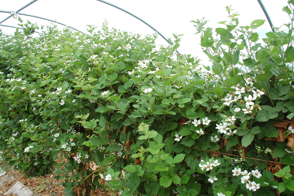 Super excited about the heavy blossoms on the blackberries in hoop house #2
