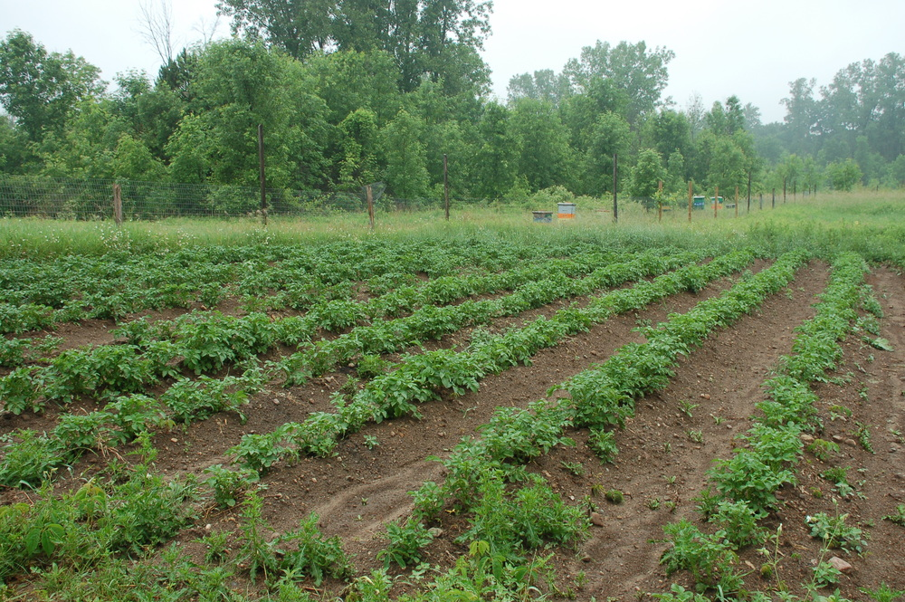 Potatoes were just recently hilled and weeded.
