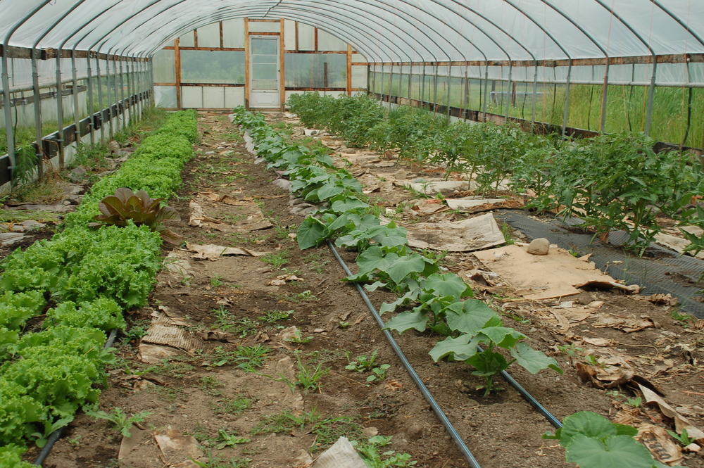 Hoop house #1 with Leaf Lettuce, Cucumbers, and Tomatoes