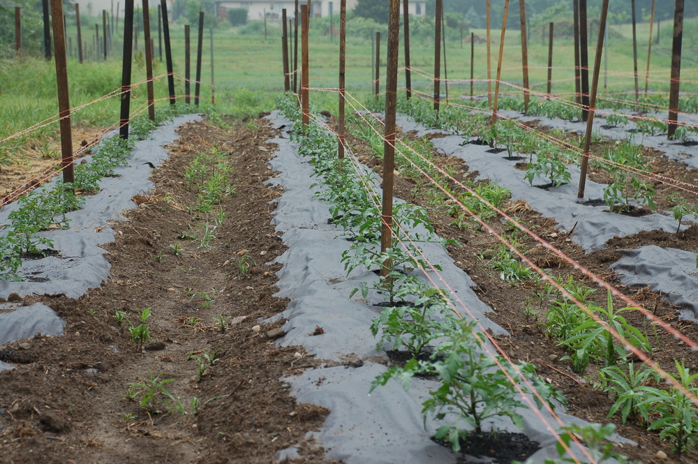 Outside tomatoes are starting to make progress and just about up to the first level of string