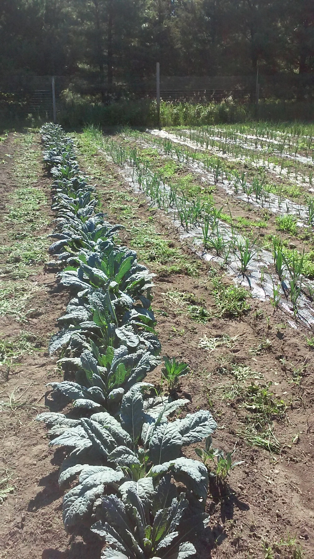 Kale just before harvesting for this week's shares.  Leeks and onions to the right