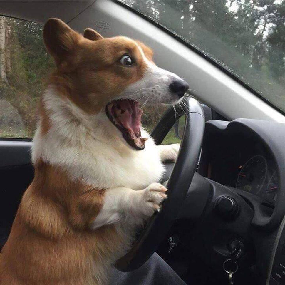 corg in a car.jpg