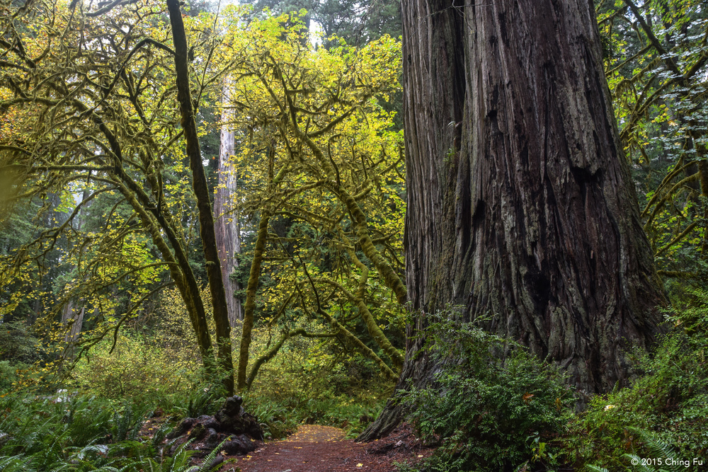 Redwoods in Prairie Creek State Park.