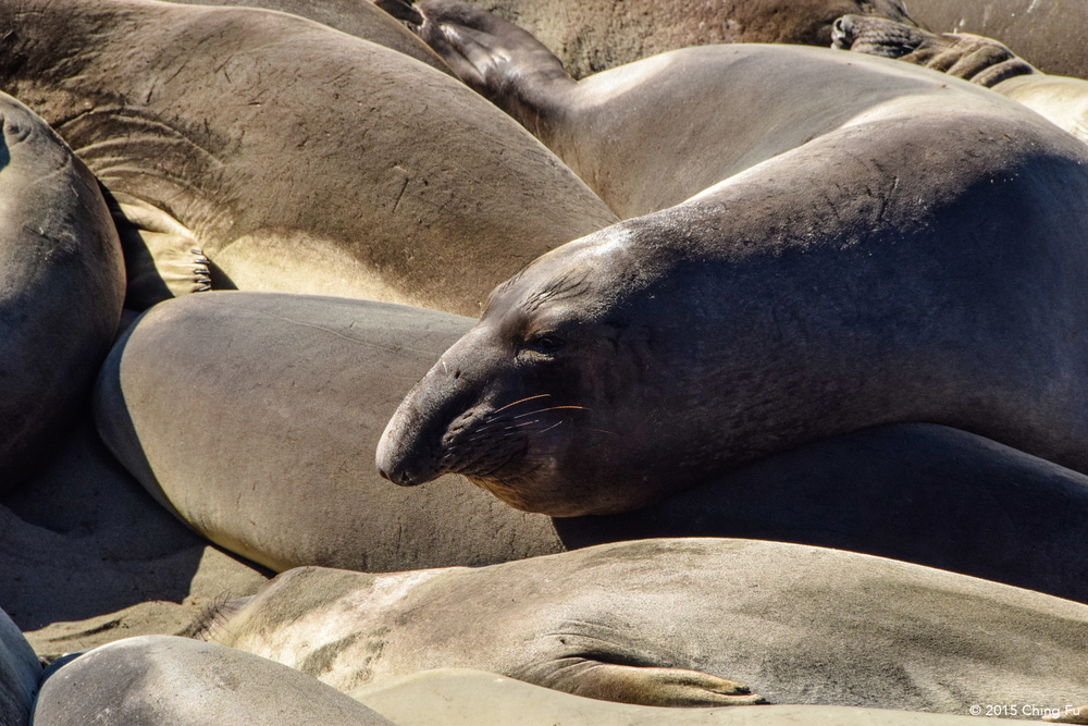 Male elephant seals start developing their enlarged noses at the age of 3 -5 years old.
