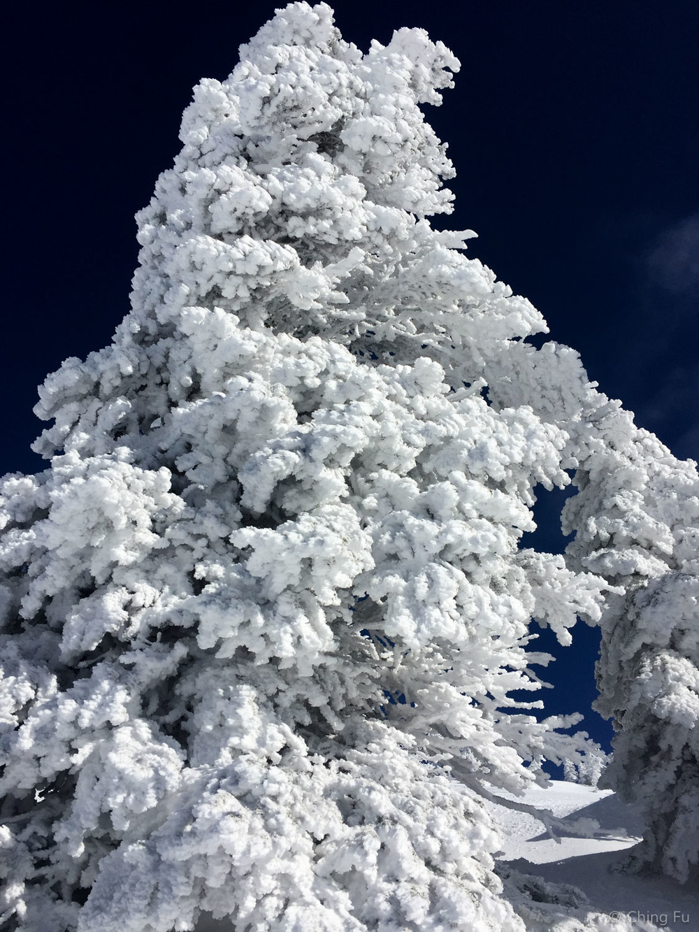 Fat snow tree at Grand Targhee Resort.