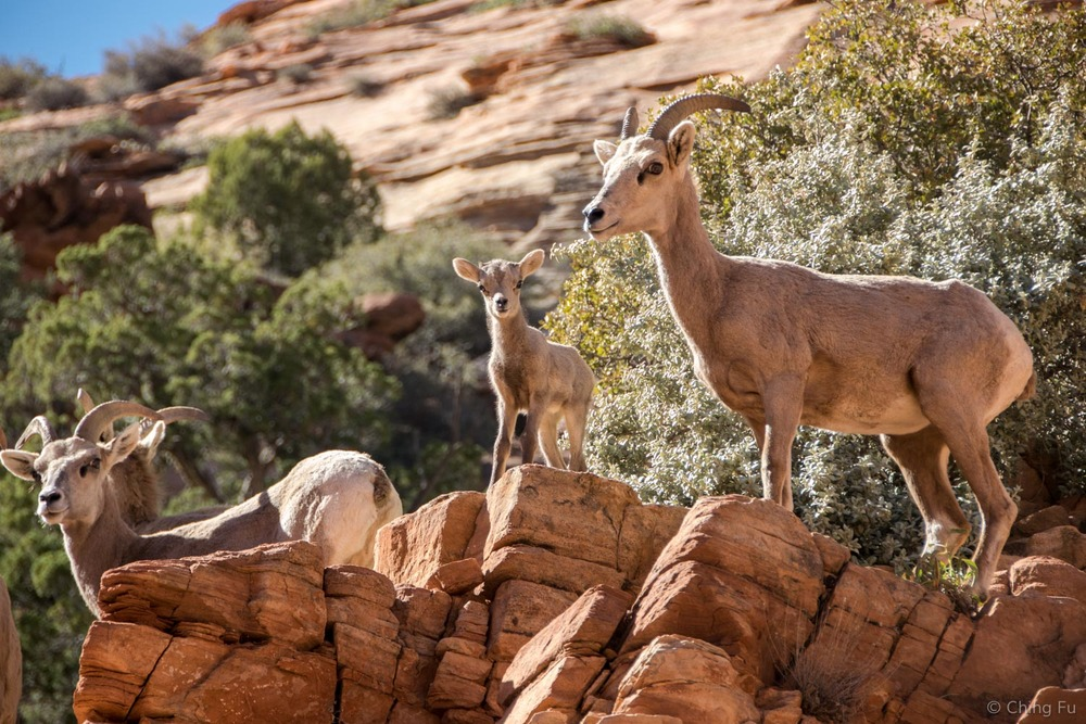 Mountain goats on Zion-Mount Carmel Highway.