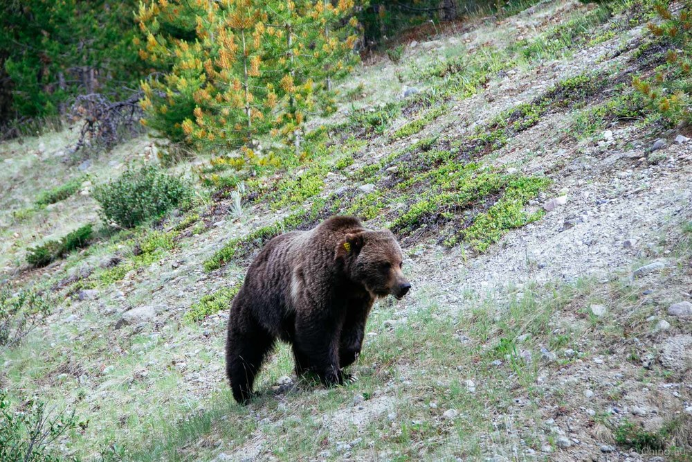 Grizzly bear at the Icefield Parkway.