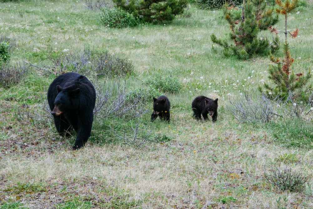 Mama black bear and her two cubs.