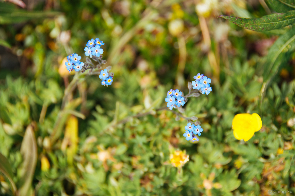 Views of Mountain Forget-Me-Not along the way.