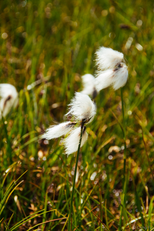 Scheuchzer's cottongrass