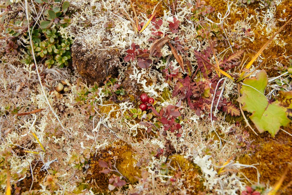 Cranberries mixed in lichen and moss.