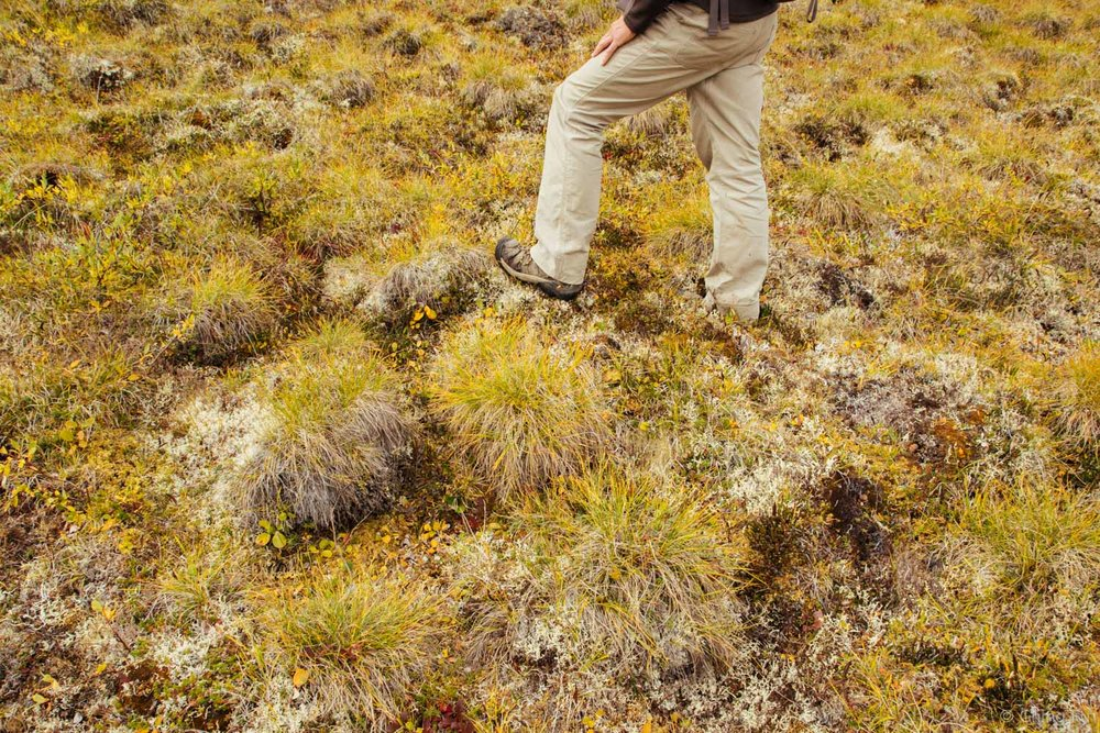 One foot on a mound of tussock.