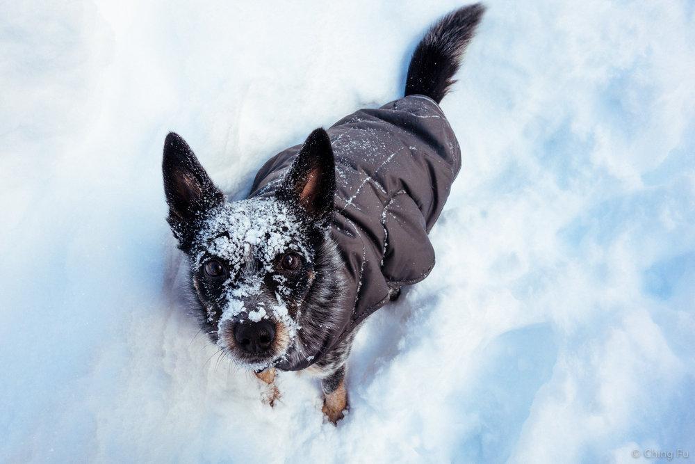 Tyki wearing his Ruffwear Quinzee jacket.