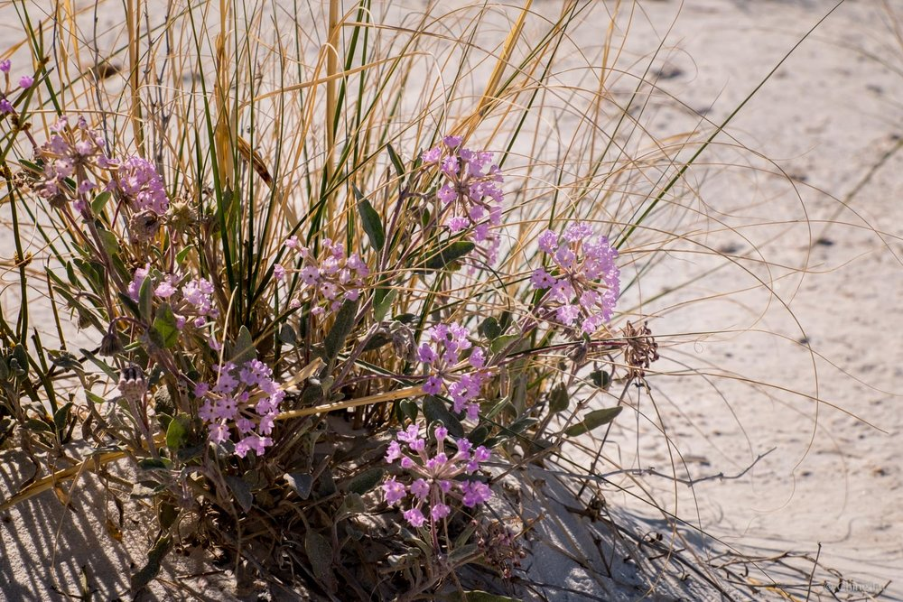 Please keep in mind that desert vegetation such as the purple sand verbena are extremely fragile. They have to survive in some of the toughest conditions.