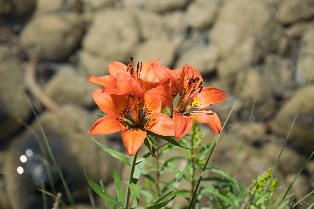 """""""Leave only footprints and take only photos."""" Taking a picture of these wild lilies means other hikers and mountain bikers are able to also enjoy them by the lake."""
