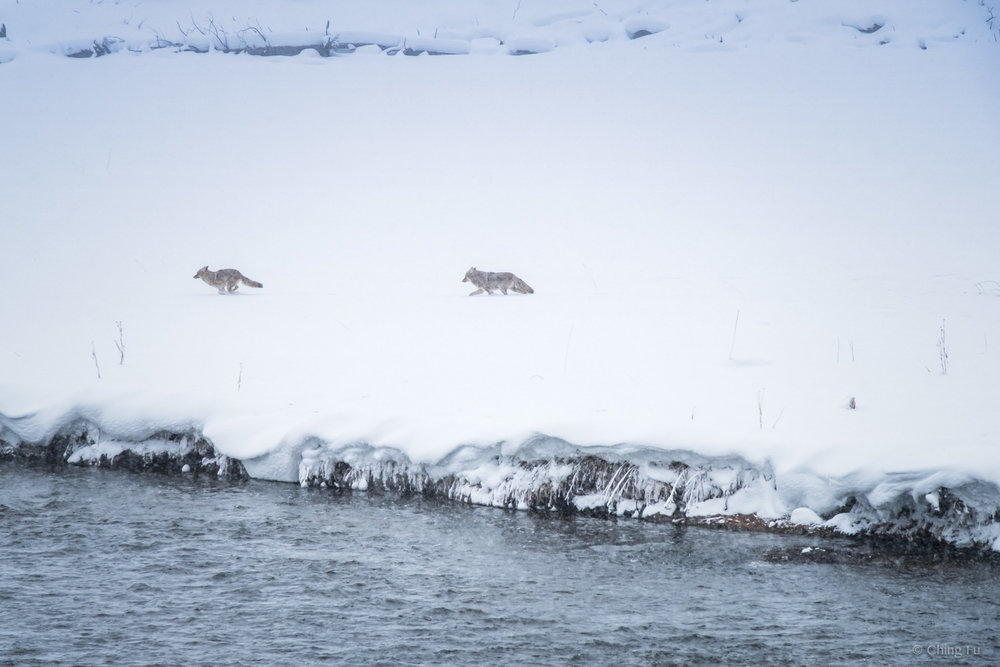 Coyotes playing by the Madison River at Yellowstone National Park.