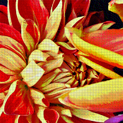 Red and Yellow Dahlias