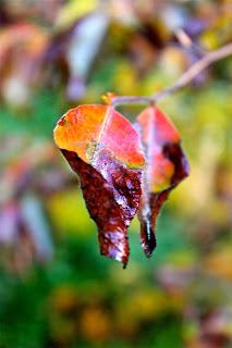 stewartia+last+fall.jpg