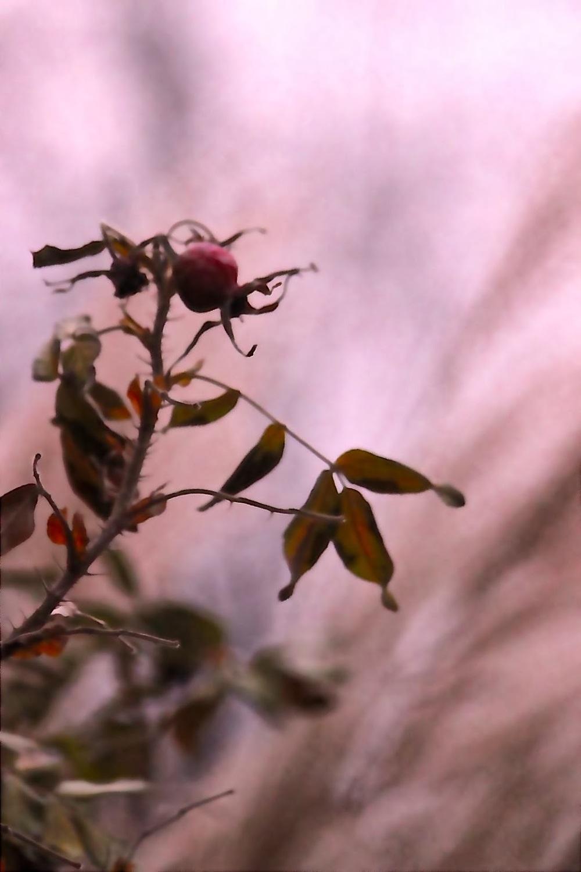 rosehipsunset.jpg