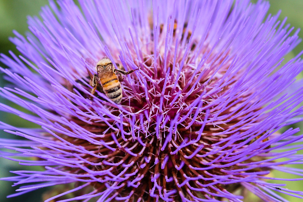 Gobbo Di Nizzia cardoon bloom