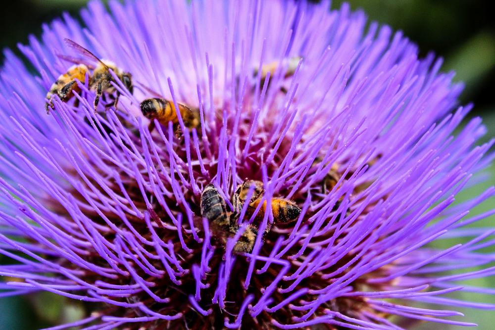 Bees adore Gobbo Di Nizzia cardoon blooms
