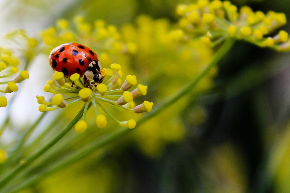 Ladybug on bronze fennel blossom