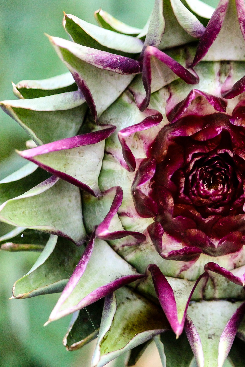 Violetto artichoke bloom