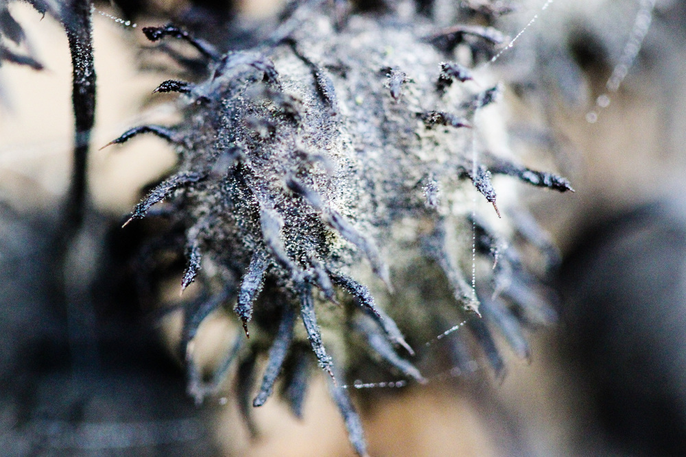 Castor BeanPlant seed head