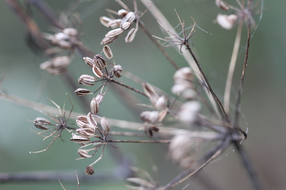 Bronze Fennel seed head