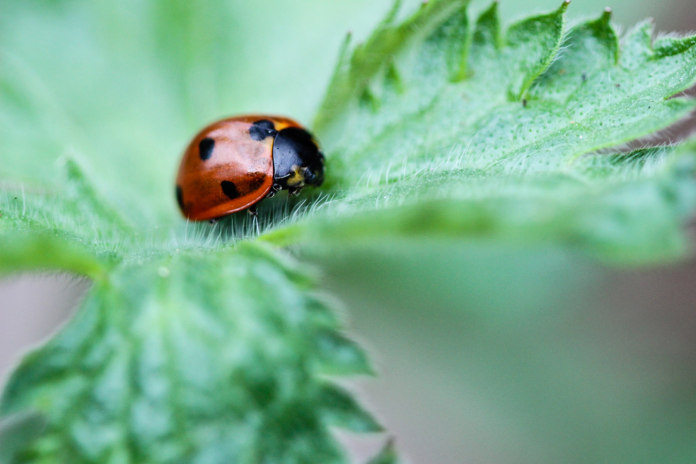 A dead ladybug at rest in a young hardy geranium leaf.