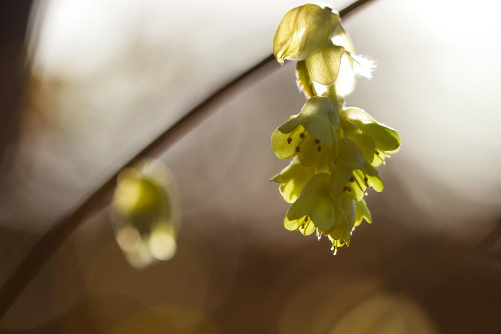 Spike Winter Hazel, Corylopsis spicata