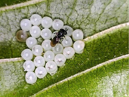 A parasitic wasp guarding her eggs that are inside BMSB eggs.