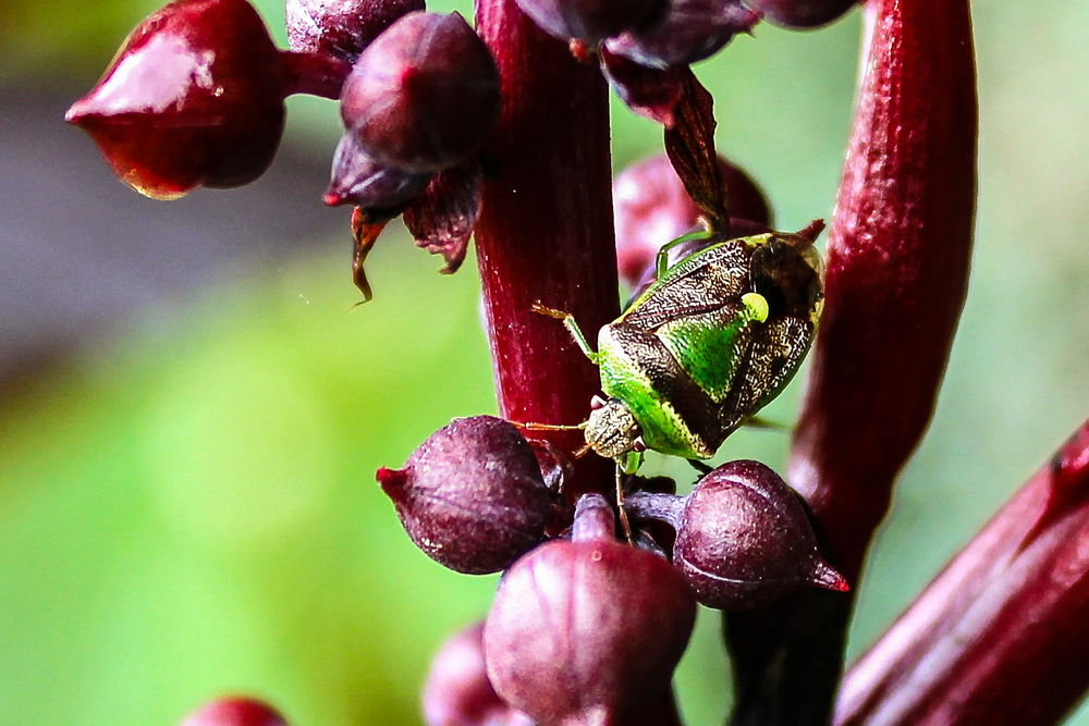 The native stink bug, Banasa dimiata, in my garden.