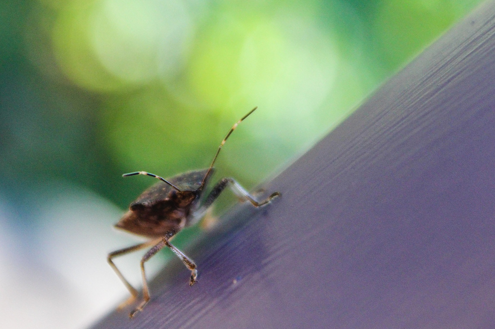 A Brown Marmorated Stink Bug